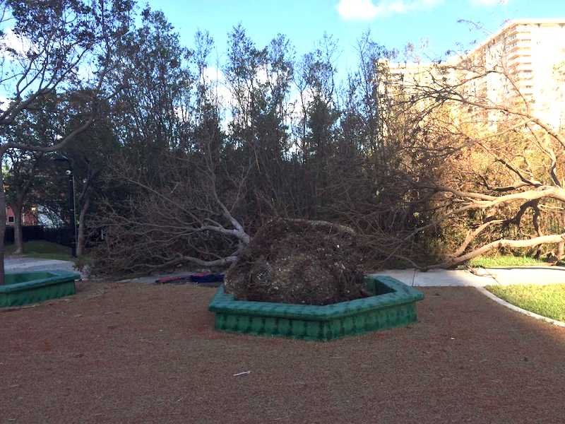 a fallen tree lays on its side at Town Center Park