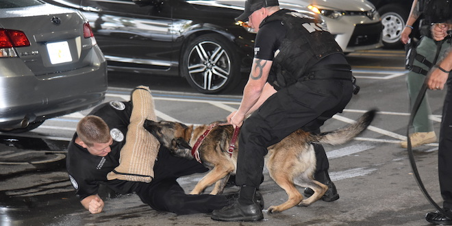 Police k-9 and bites on a arm covering worn by a police officer on the ground during a K-9 Police Unit demonstration.