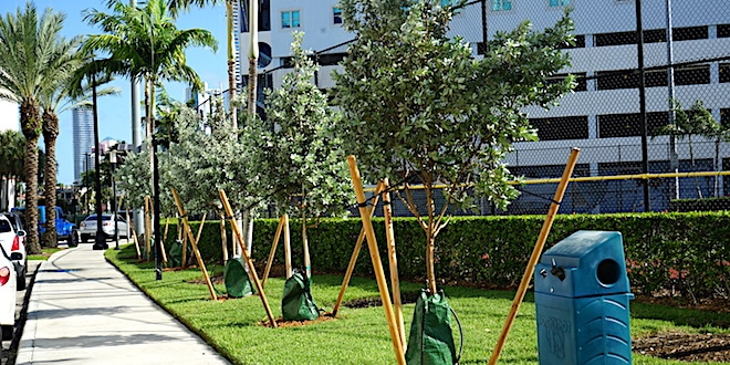 Trees planted along North Bay Road, as part of Neat Streets Tree Planting Grand